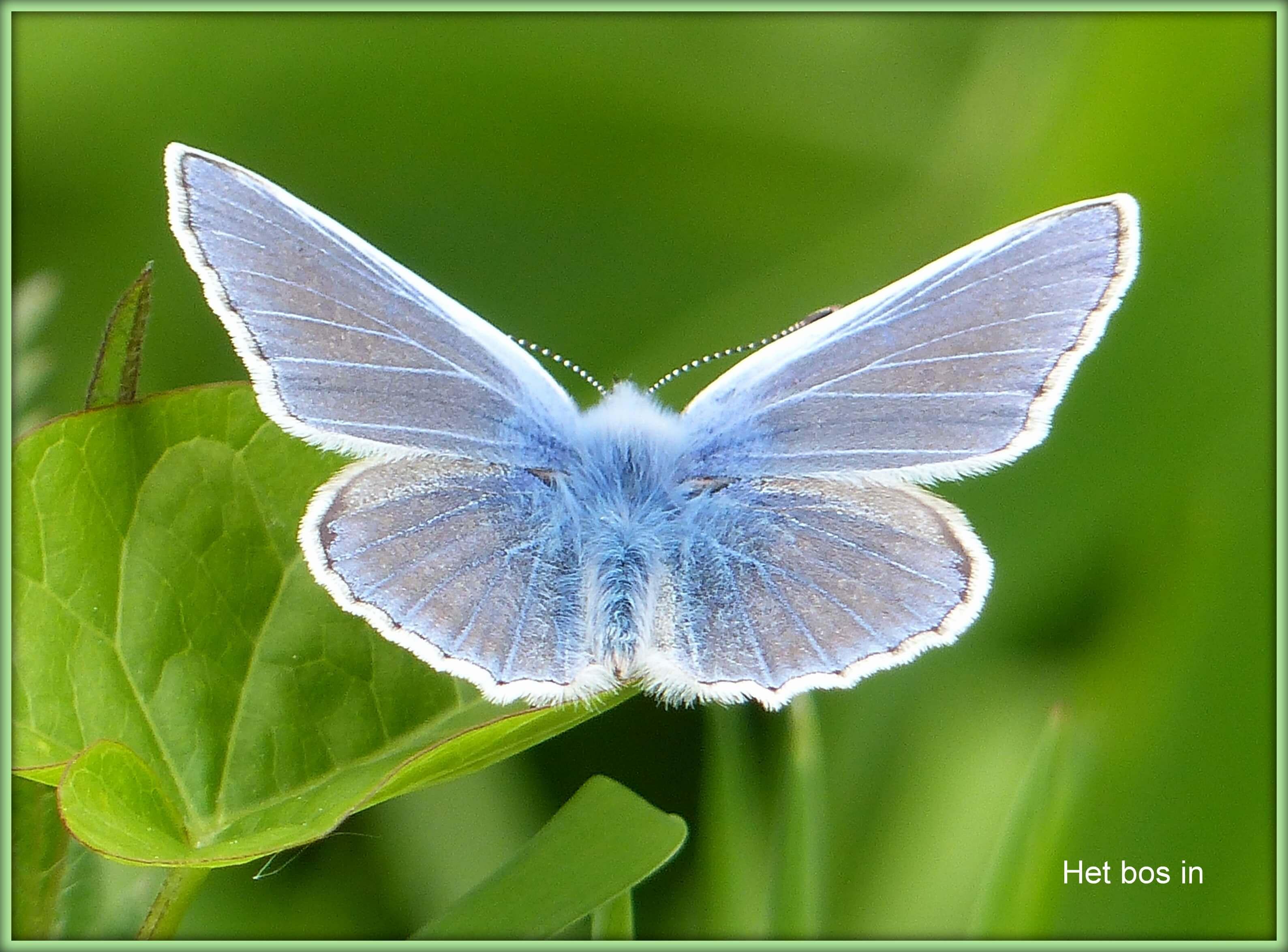 vlinder kl